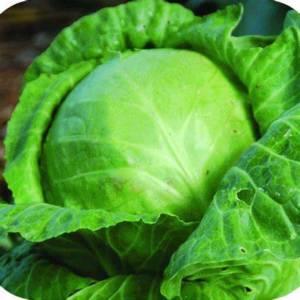 Cabbage Golden Acre