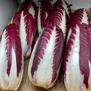 Chicory Trevisio Red