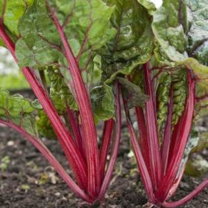 Silverbeet Red Ruby