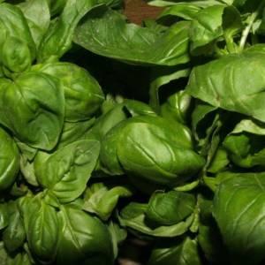 Genovese Green Torino Basil