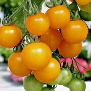 Tommy Toe Yellow Tomatoes