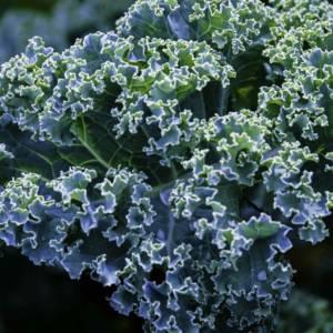 Blue Dwarf Curled Kale